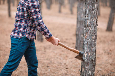 A woodcutter cuts down a pine forest. Outdoors. Stock Photo