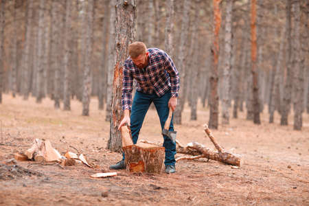 A woodcutter chops firewood with an ax in a pine forest. Outdoors. Stock Photo