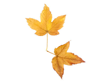 Two dry leaves lay like arrows on a clock on a white isolated background