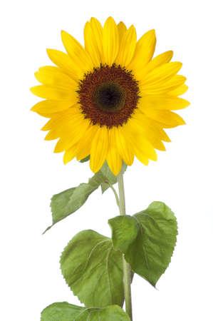 Sunflower Stock Photo - 13534121