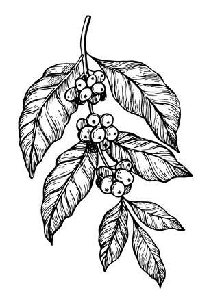 Café lápiz a mano alzada rama de un árbol dibujo aislado sobre fondo blanco ilustración vectorial. Cafe o elemento de diseño del menú del restaurante. concepto de la planta de café, rama con hojas y frijol en el estilo vintage. Ilustración de vector