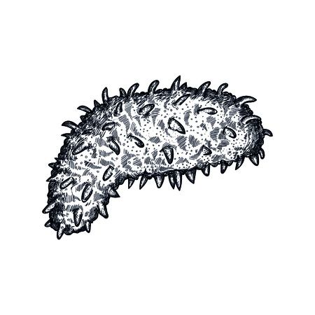 Sea cucumber hand drawn icon. Natural fresh seafood sketch, restaurant menu vintage element, healthy food vector illustration isolated on white background.