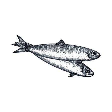 Icona disegnata a mano di pesce di acciughe. Schizzo naturale dei frutti di mare freschi, elemento d'annata del menu del ristorante, illustrazione sana di vettore dell'alimento isolata su fondo bianco.