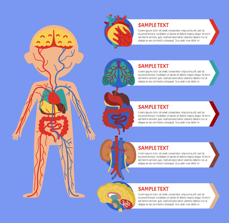 Health medical poster with human body anatomy. Kidney, lung, liver, heart, stomach, brain, intestine vector illustration. Internal organs of boy, human body physiology systems infographics. 版權商用圖片 - 82360136