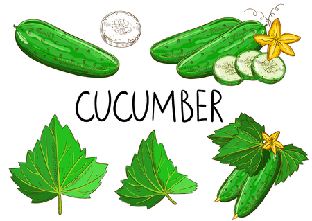 Cucumber isolated vector illustration set