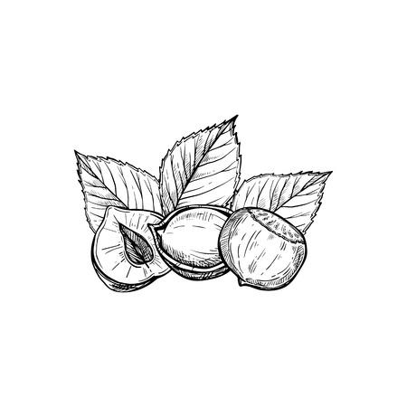 Hazelnut vector isolated on white background Çizim
