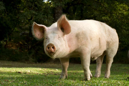 looking directly at camera: Directly Pig looking at the camera in the field