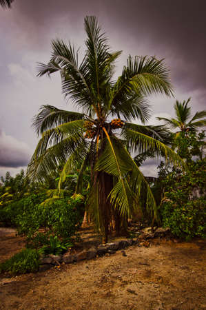 A coconut tree on the beach in Sri Lanka photo