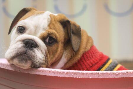puppie english Bulldog Laying Down on the pink plastic basquet