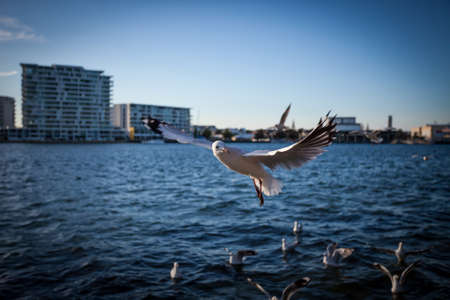 Flying Seagull with ocean and city buildings background