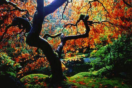Laceleaf Maple Tree with Backlit Orange Leaves Stock Photo