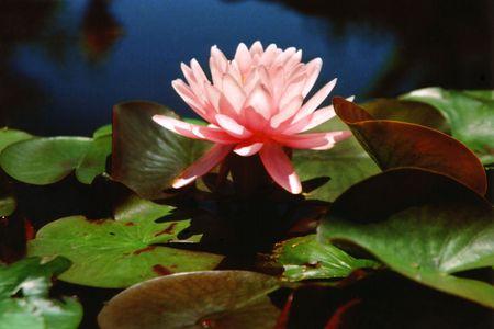 Solo Pink Waterlily Stock fotó