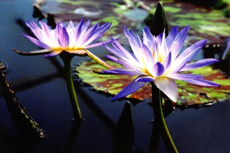 Two purple Waterlilies Stock fotó