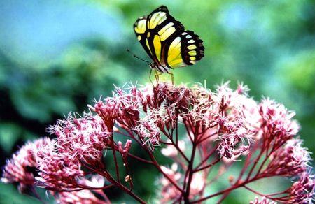 papillon rose sur la pulv�risation