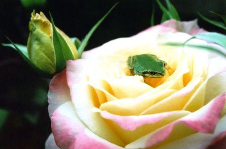 バラに座っているアマガエル 写真素材