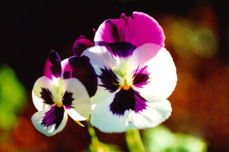 Two Purple and White Pansies