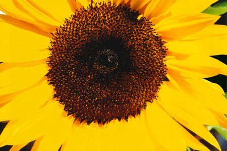 Close up photo of a yellow sunflower