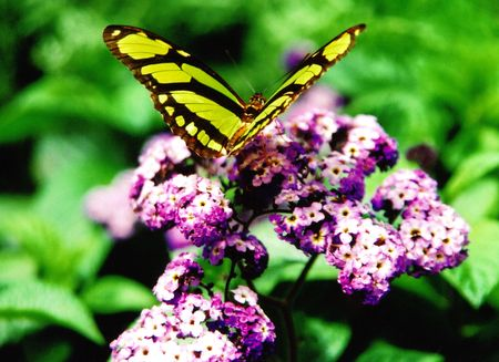 Tropical butterfly on butterfly bush