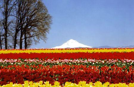 Mt Hood avec les champs de tulipes