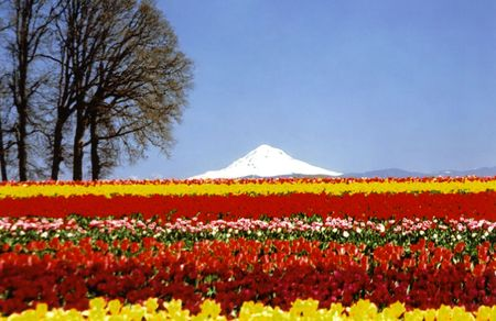 Mt Hood with tulips fields