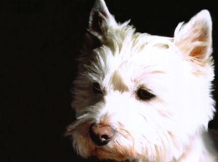 West Highland Terrier sur fond noir