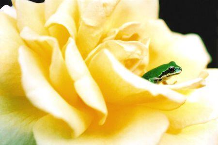 Froglet on Rose Petal