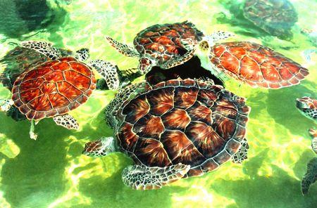 Caribbean Turtles Stock Photo