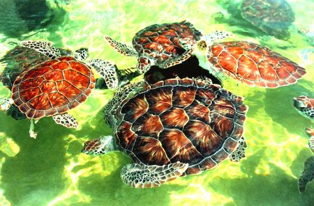Caribbean Turtles Stock Photo