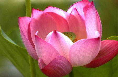 Lotus d'ouverture