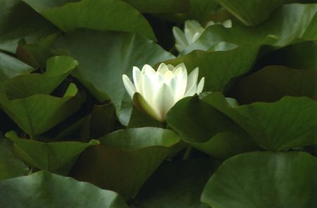 White Waterlily Surrounded by Lilypads Stock Photo