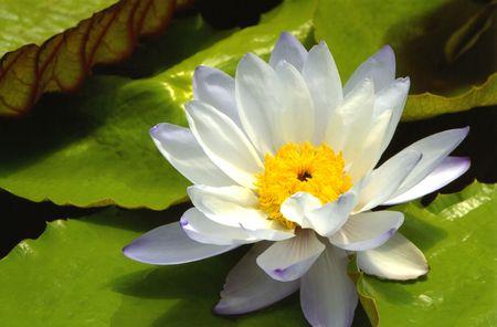 reflective: Reflective Waterlily Stock Photo