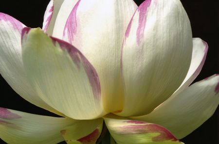 Lotus on Black photo