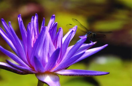 Dragon Fly and Waterlily Stock Photo