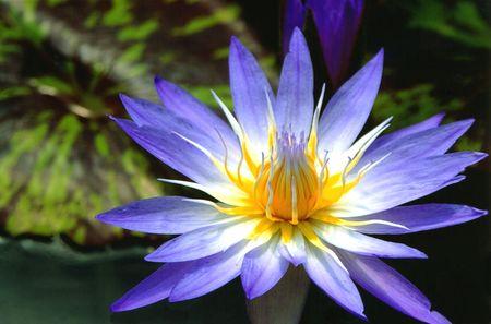 Purple Waterlily and Lilypads Stock Photo