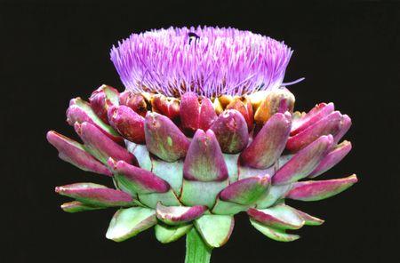 Blooming Artichaut
