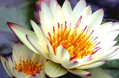 Magenta Tinged waterlilies