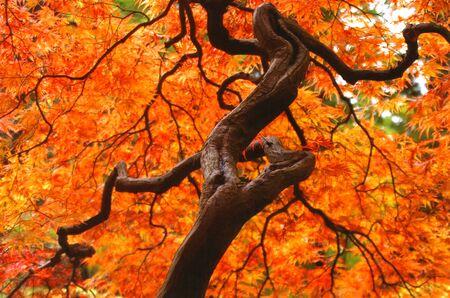 gnarled: Japnese Maple Tree in Autumn