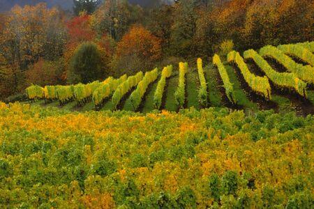 Oregon Vineyard in Autumn