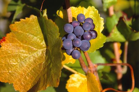 Pinot Noir Grapes in Autumn