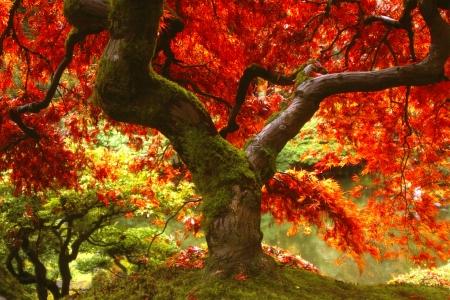 colorful maple trees: Japanese Maple Tree in Portland, Oregon