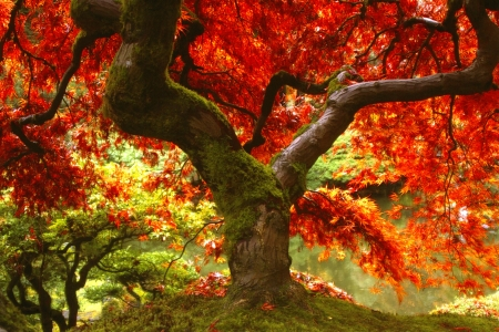 Japans Maple structuur in Rotterdam, Oregon