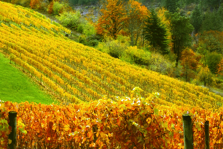 Vineyard on Rolling Hills Stock Photo