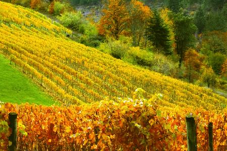 Vineyard on Rolling Hills Imagens