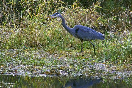 stalking: Blue Heron Stalking