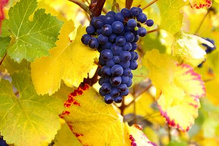 Dry Brush Pinot Noir Grapes