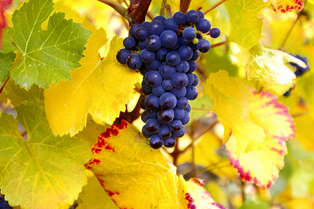 pinot noir: Dry Brush Pinot Noir Grapes