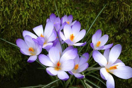 Purple Crocuses in Moss Stock Photo - 6477710