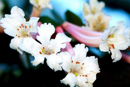 White Vireya Rhododendrens