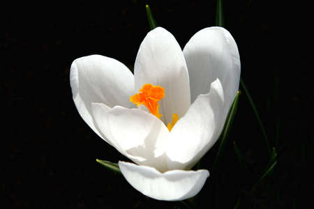Backlit White Crocus photo