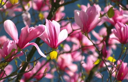 pink tulips: Profile in Pink Magnolias